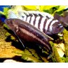 Melanochromis chipokae - Tlamovec chipokae