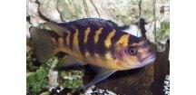 Pseudotropheus crabro cameleo - Tlamovec crabro cameleo