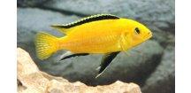 Labidochromis yellow - Tlamovec žlutý
