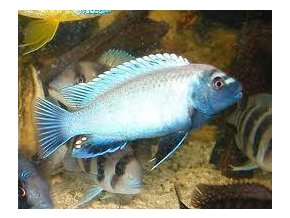Pseudotropheus zebra red + blue - Tlamovec zebra red + blue