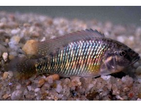 Pseudocrenilabrus philander dispersus - Tlamovec mosazný