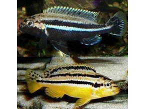Melanochromis auratus - Tlamovec pestrý
