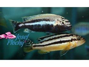 melanochromis auratus cichlid