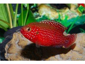 Hemichromis lifalili - Perlovka rudá