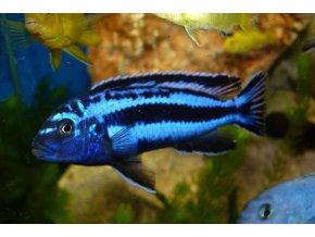 Melanochromis maiangano - Tlamovec maiangano