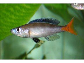Cyprichromis leptosoma ´Mpulungu´