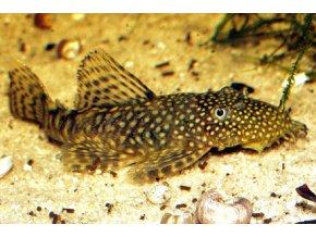 Ancistrus sp. (L338) - Krunýřovec hnědý
