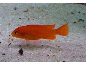 Pseudotropheus saulosi coral red - Tlamovec Saulosův coral red