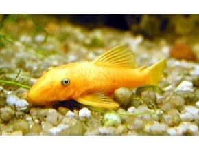 Ancistrus sp. gold - Krunýřovec zlatý