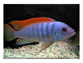 Pseudotropheus greshakei - Tlamovec