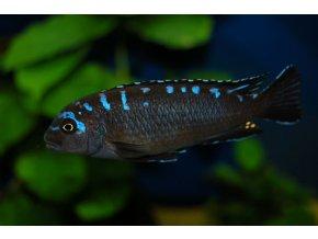 Pseudotropheus elongatus neonspot - Tlamovec elongatus neonspot