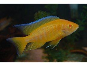 Aulonocara Lemon Jake Albino Tlamovec citronový