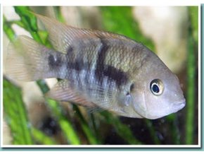 Cichlasoma sejica - Kančík zelenooký