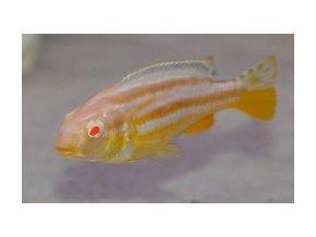 Melanochromis auratus Albino Tlamovec pestrý Albino