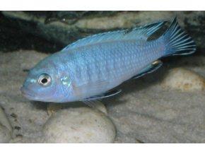 Pseudotropheus socolofi - Tlamovec socolofi