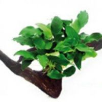 Rostliny k navázání na kořeny a kameny