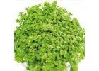 Kobercové rostliny