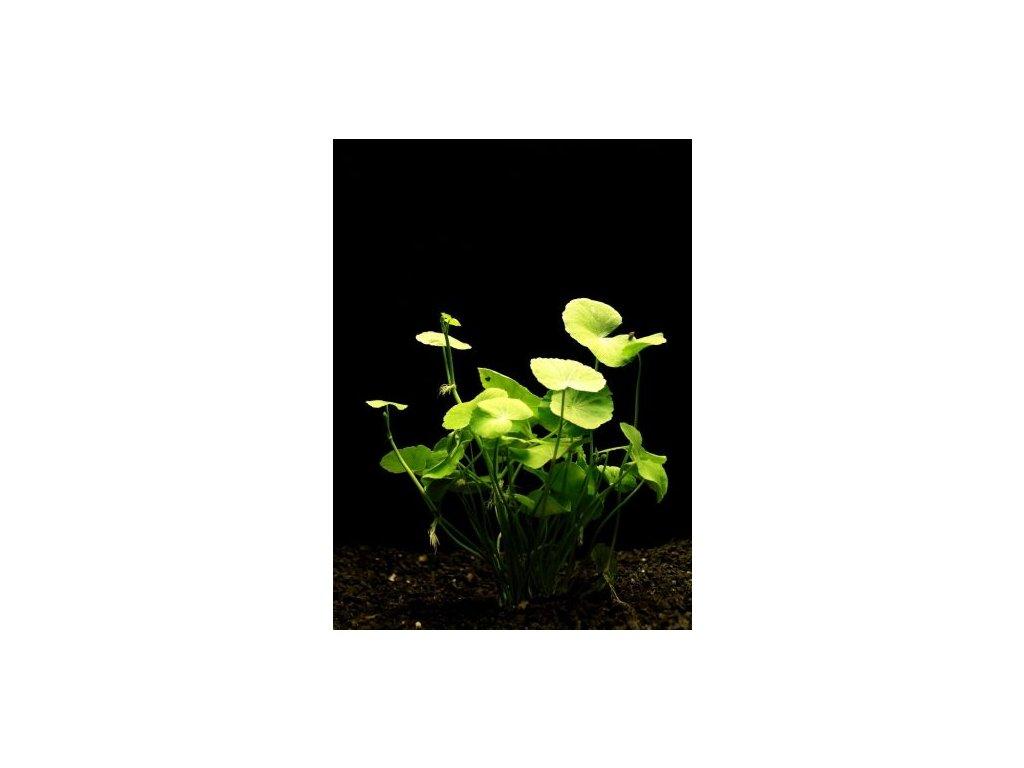 Hydrocotyle leucocephala