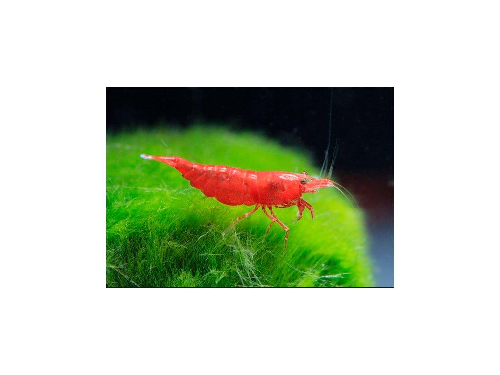 Neocaridina sakura red