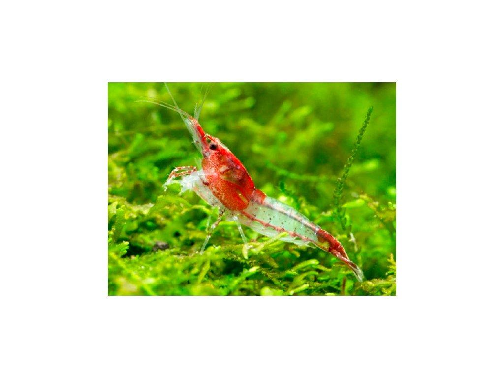 Neocaridina Red Rili