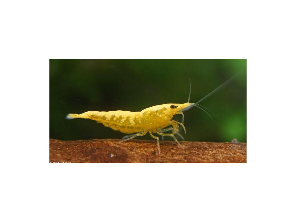 Neocaridina Yellow Neon Stripe