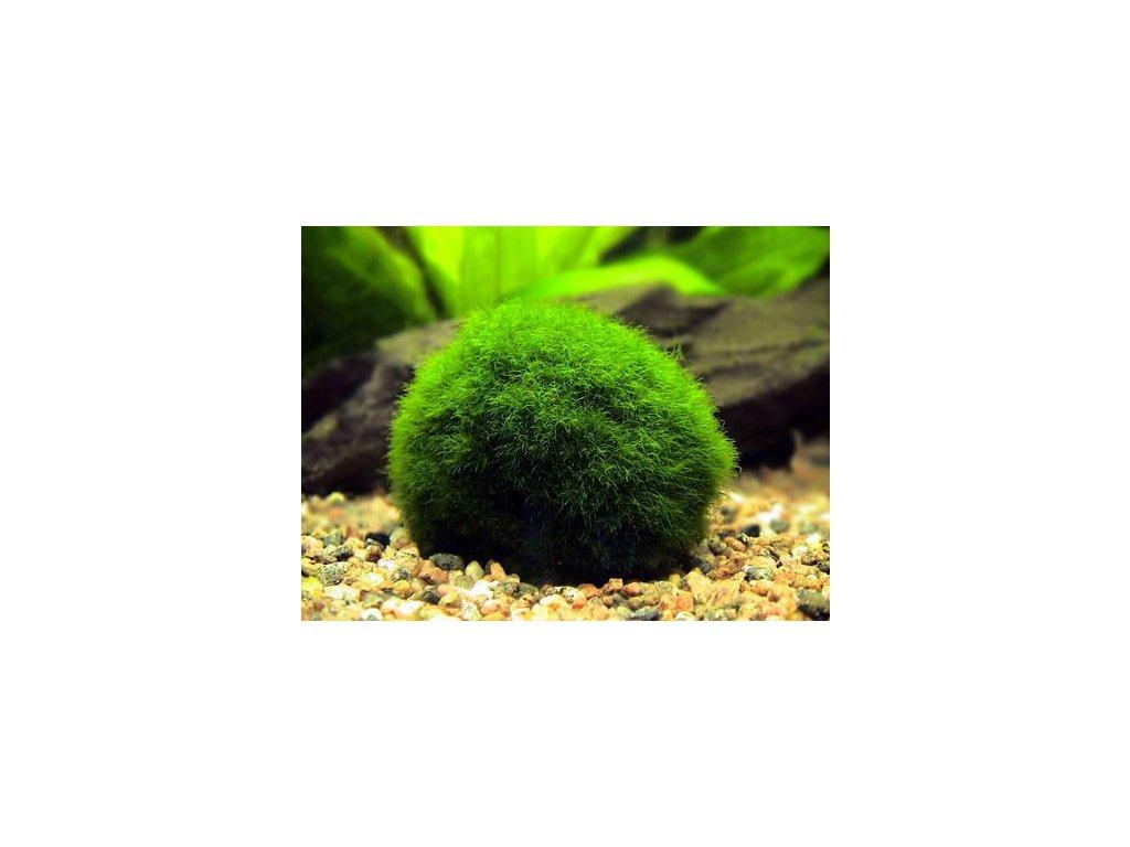 Cladophora aegagropila - mini