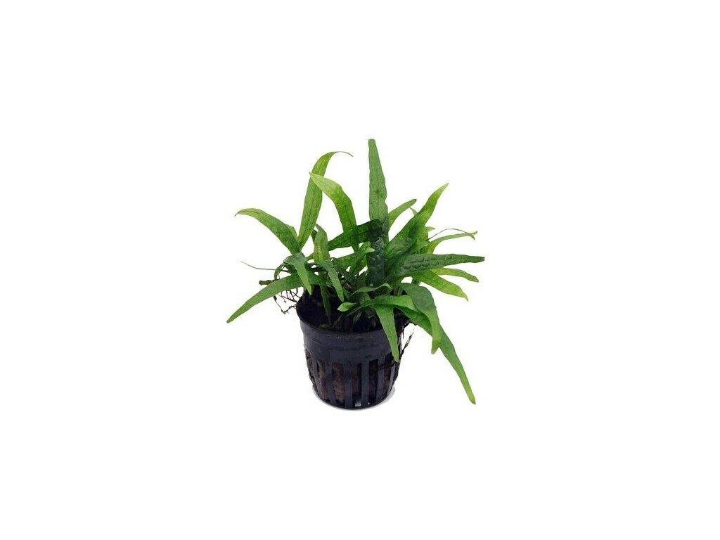 Microsorium Philippine Mini