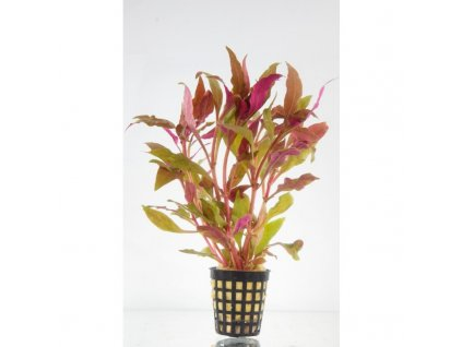 Alternanthera splendens