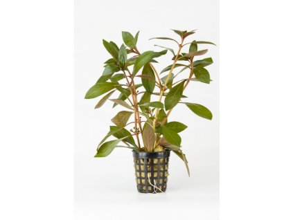 Ludwigia repens red