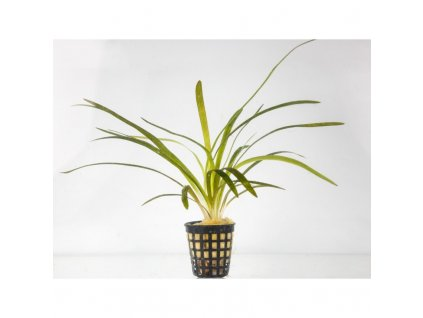 Sagittaria platiphylla