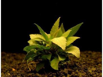 Hygrophila corym.var.minima