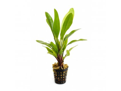 Echinodorus Green Pepper