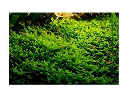 Pelia moss - monoselenium tennerum