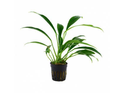 Tropica Anubias barteri var. angustifolia