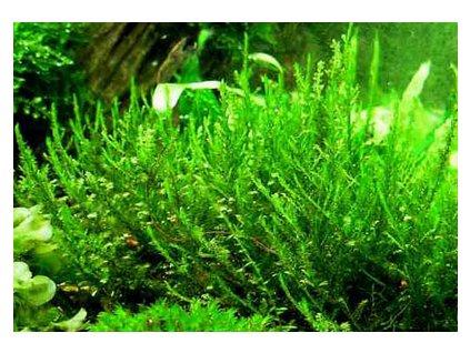 Creeping moss - Vesicularia sp. - v kelímku