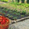 Fólia mulčovacia na jahody 1,4x10m