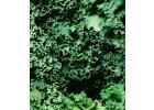 Kale - kadeřavá kapusta