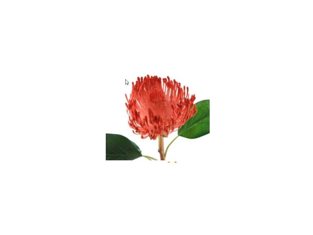 Chryzantema červená