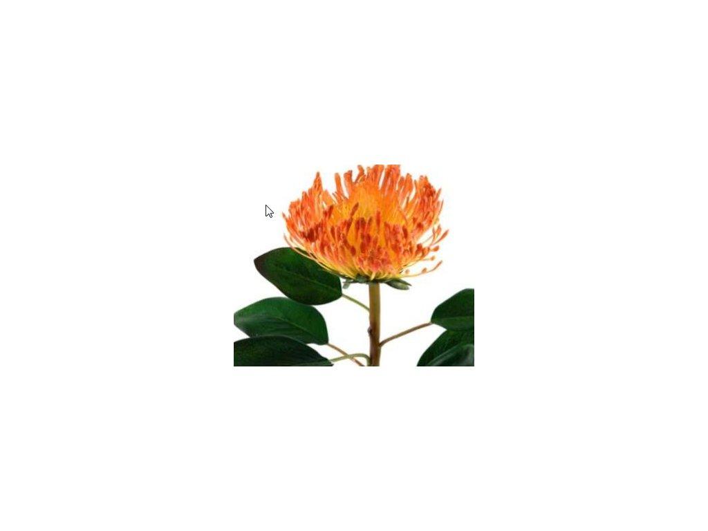 Chryzantema oranžová