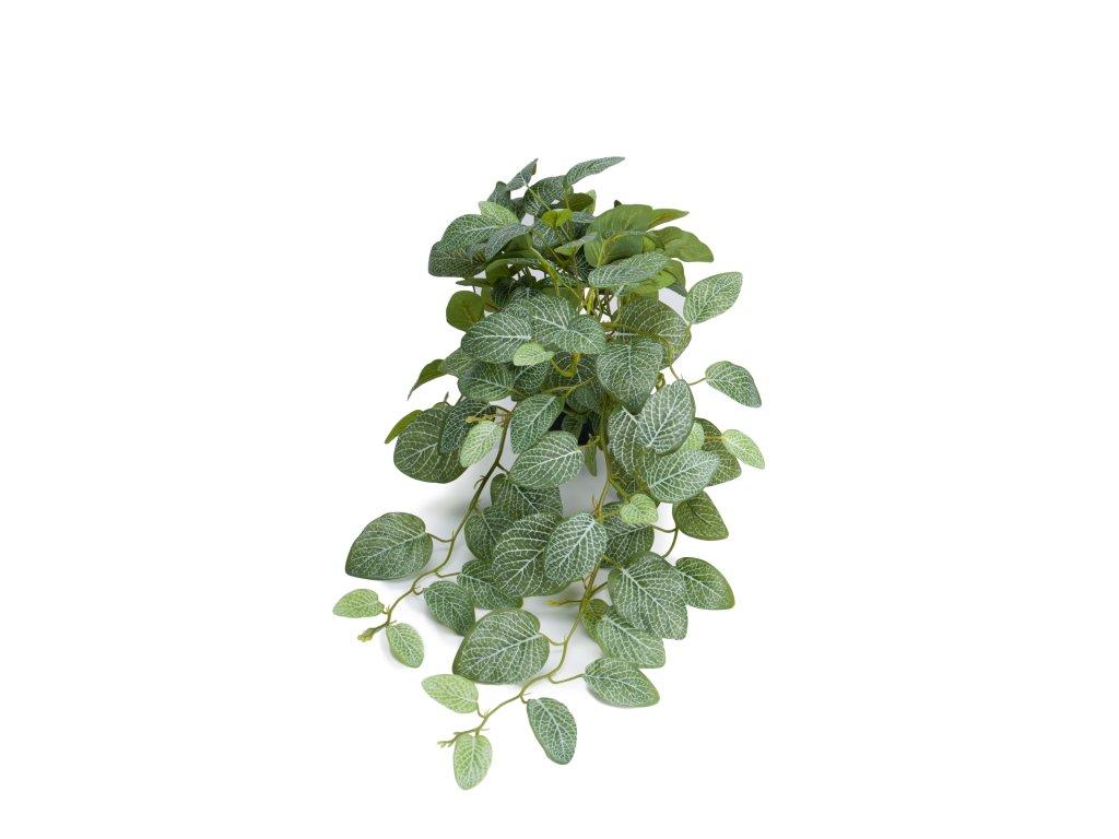 Fittonia plazivá rostlina