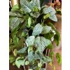 Umělá květina - Fittonia plazivá rostlina