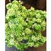 Umělá rostlina - sukulent zelené bobulky 20 cm