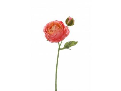 Pryskyřník růžový CO