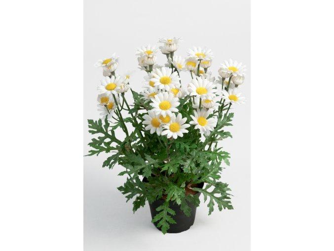 umela-rostlina-kopretina-kerik