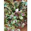 Umělá květina - Sukulent drobný fialový kvítek