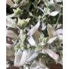umela-rostlina-pelynek-stribrny-68cm