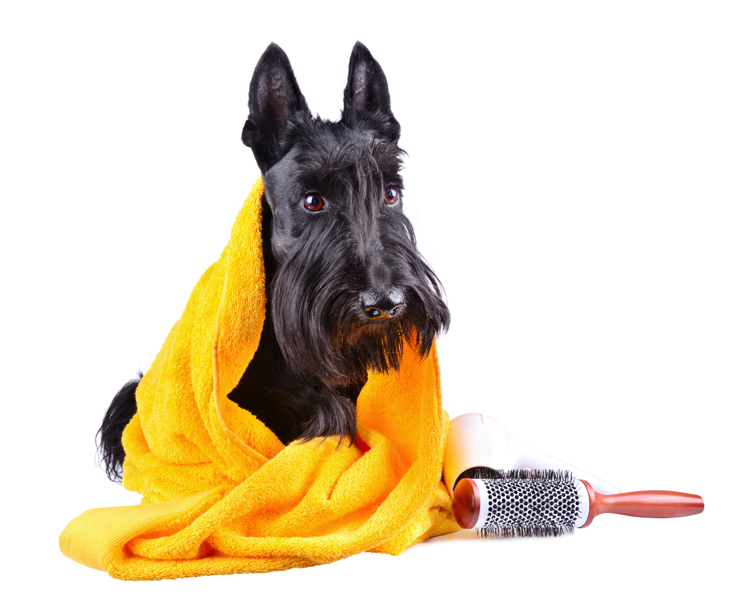 Scotty dog in yellow towel