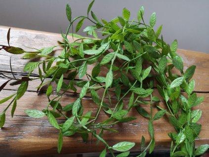 Previslá rastlinka 100cm