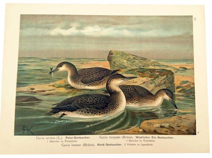 Gavia arctica L.