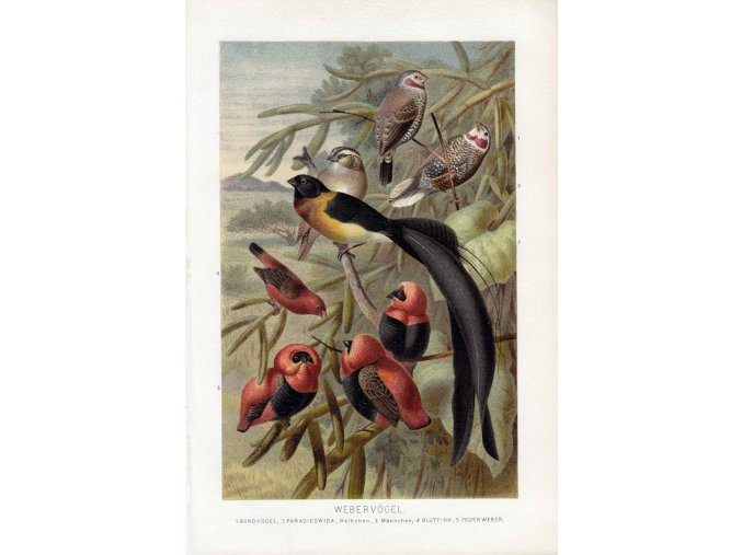 Webervögel